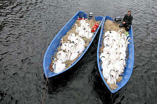 cisnes en el lago Alster